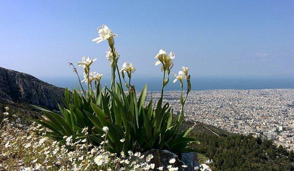 Λουλούδια ψηλά στον Υμηττό με θέα την πόλη.